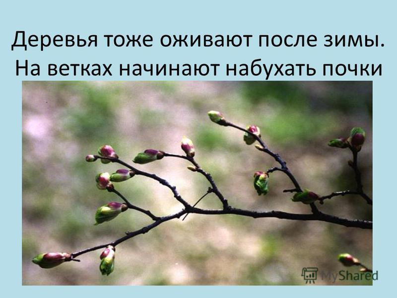 Деревья тоже оживают после зимы. На ветках начинают набухать почки
