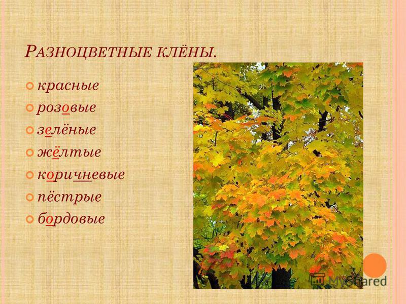 Р АЗНОЦВЕТНЫЕ КЛЁНЫ. красные розовые зелёные жёлтые коричневые пёстрые бордовые