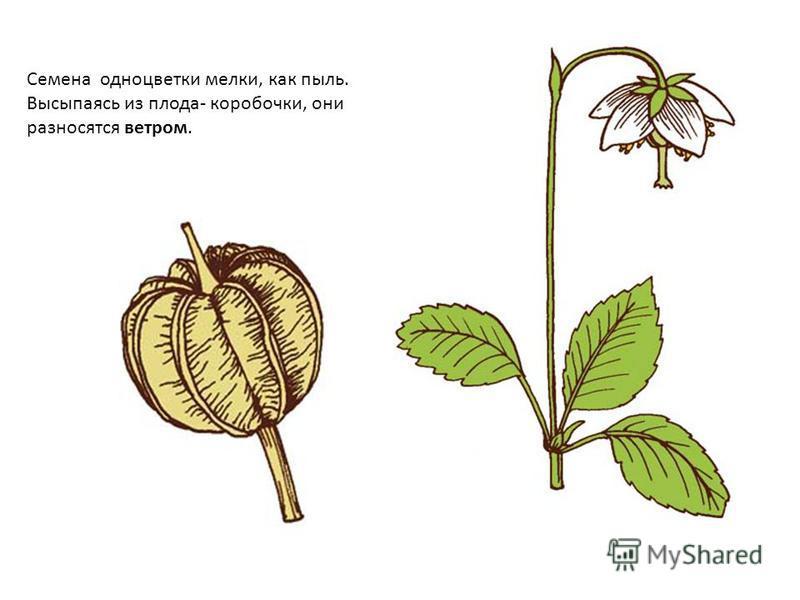 Семена одно цветки мелки, как пыль. Высыпаясь из плода- коробочки, они разносятся ветром.