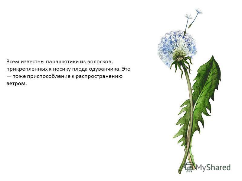перенос семян ветром