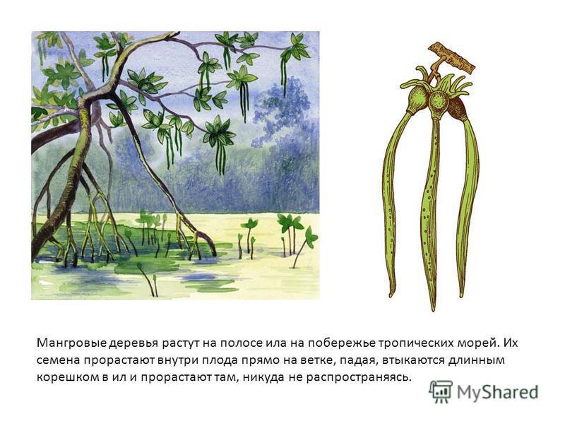 Мангровые деревья растут на полосе ила на побережье тропических морей. Их семена прорастают внутри плода прямо на ветке, падая, втыкаются длинным корешком в ил и прорастают там, никуда не распространяясь.