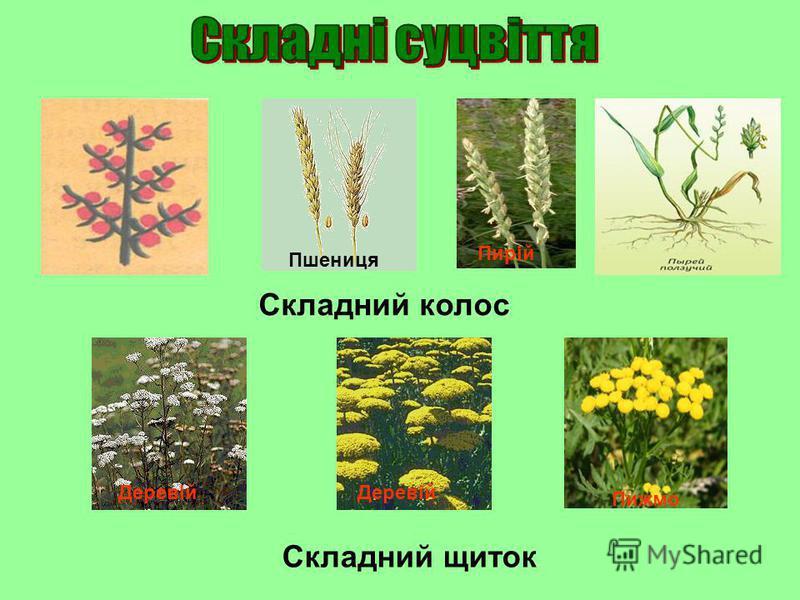 Складний колос Пшениця Пирій Деревій Пижмо Складний щиток
