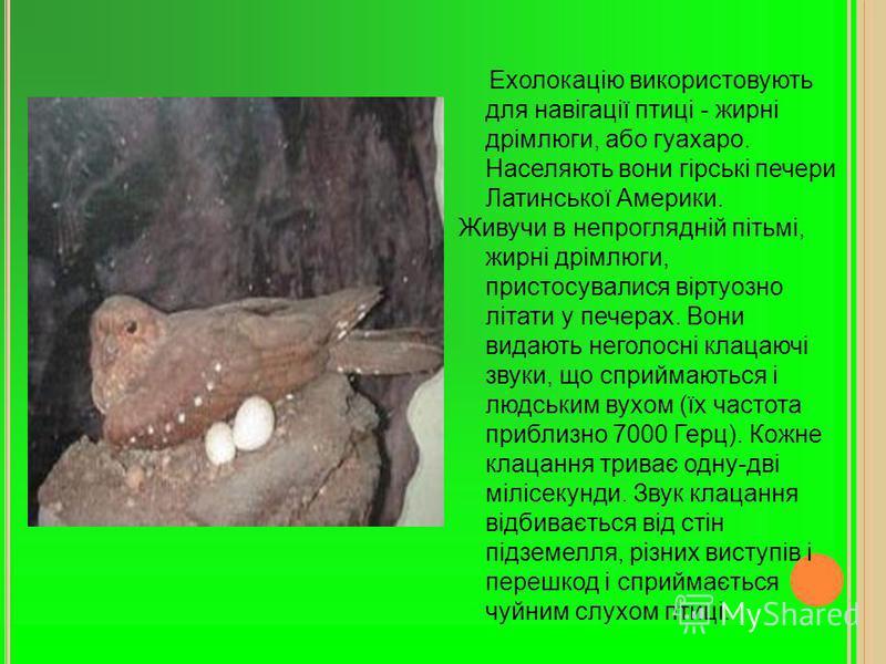 Ехолокацію використовують для навігації птиці - жирні дрімлюги, або гуахаро. Населяють вони гірські печери Латинської Америки. Живучи в непроглядній пітьмі, жирні дрімлюги, пристосувалися віртуозно літати у печерах. Вони видають неголосні клацаючі зв