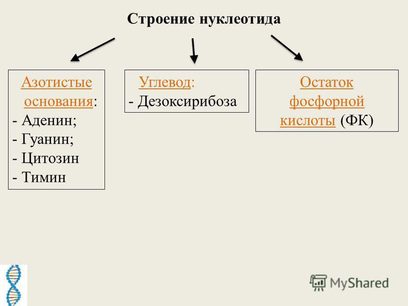 Строение нуклеотида Азотистые основания: - Аденин; - Гуанин; - Цитозин - Тимин Углевод: - Дезоксирибоза Остаток фосфорной кислоты (ФК)