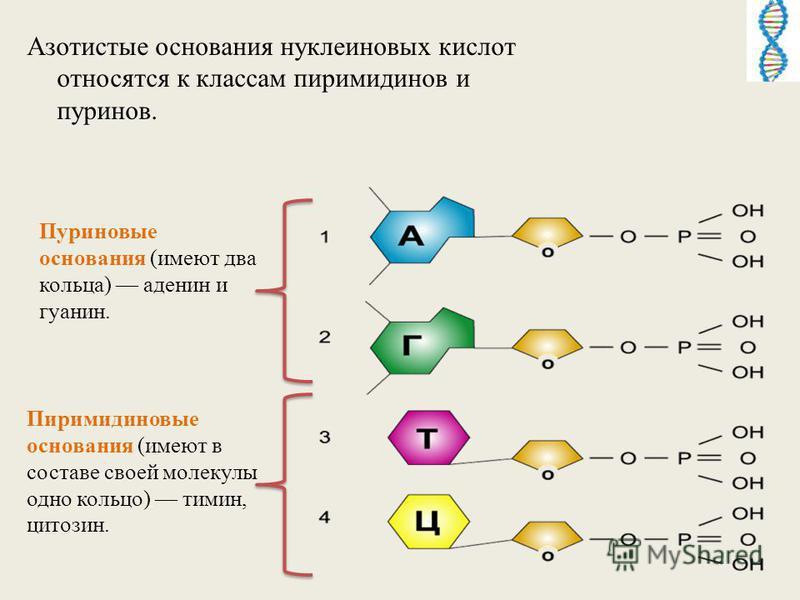 Азотистые основания нуклеиновых кислот относятся к классам пиримидинов и пуринов. Пиримидиновые основания (имеют в составе своей молекулы одно кольцо) тимин, цитозин. Пуриновые основания (имеют два кольца) аденин и гуанин.