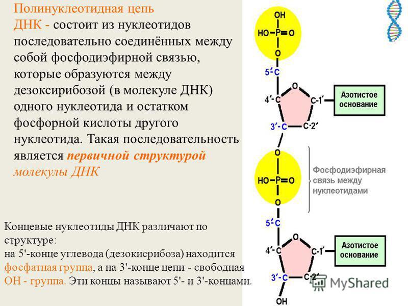 Полинуклеотидная цепь ДНК - состоит из нуклеотидов последовательно соединённых между собой фосфодиэфирной связью, которые образуются между дезоксирибозой (в молекуле ДНК) одного нуклеотида и остатком фосфорной кислоты другого нуклеотида. Такая послед
