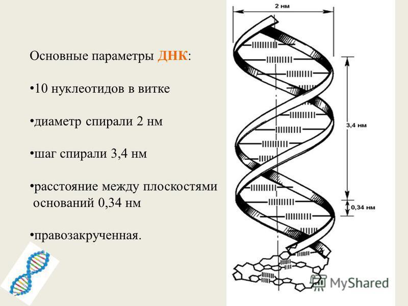 Основные параметры ДНК: 10 нуклеотидов в витке диаметр спирали 2 нм шаг спирали 3,4 нм расстояние между плоскостями оснований 0,34 нм правозакрученная.