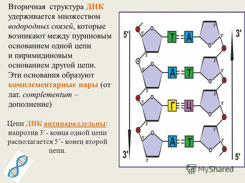 Цепи ДНК антипараллельны: напротив 3- конца одной цепи располагается 5- конец второй цепи. Вторичная структура ДНК удерживается множеством водородных связей, которые возникают между пуриновым основанием одной цепи и пиримидиновым основанием другой це