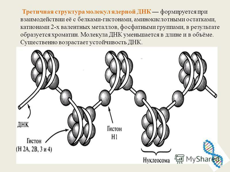 Третичная структура молекул ядерной ДНК формируется при взаимодействии её с белками-гистонами, аминокислотными остатками, катионами 2-х валентных металлов, фосфатными группами, в результате образуется хроматин. Молекула ДНК уменьшается в длине и в об