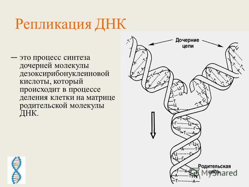 Репликация ДНК это процесс синтеза дочерней молекулы дезоксирибонуклеиновой кислоты, который происходит в процессе деления клетки на матрице родительской молекулы ДНК.