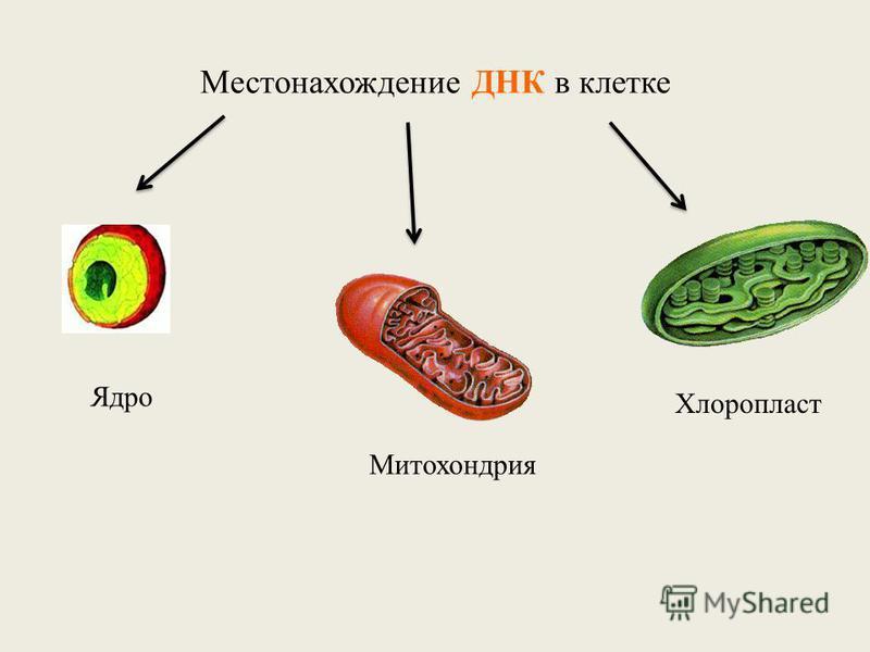 Местонахождение ДНК в клетке Ядро Митохондрия Хлоропласт