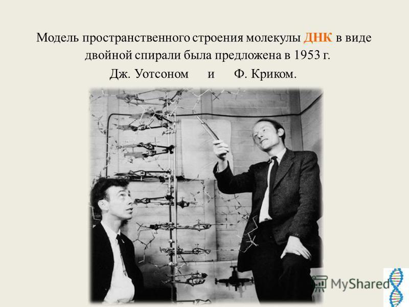 Модель пространственного строения молекулы ДНК в виде двойной спирали была предложена в 1953 г. Дж. Уотсоном и Ф. Криком.