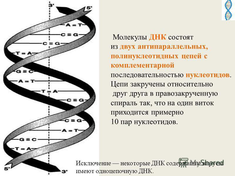 Молекулы ДНК состоят из двух антипараллельных, полинуклеотидных цепей с комплементарной последовательностью нуклеотидов. Цепи закручены относительно друг друга в правозакрученную спираль так, что на один виток приходится примерно 10 пар нуклеотидов.