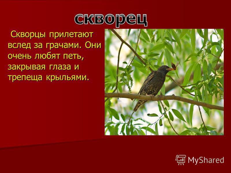 Скворцы прилетают вслед за грачами. Они очень любят петь, закрывая глаза и трепеща крыльями. Скворцы прилетают вслед за грачами. Они очень любят петь, закрывая глаза и трепеща крыльями.