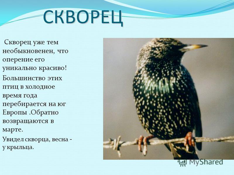 Грач Самая известная перелетная птица нашего региона. Грачи прилетают самыми первыми в родные края. Ранний прилет грачей - к теплой весне.