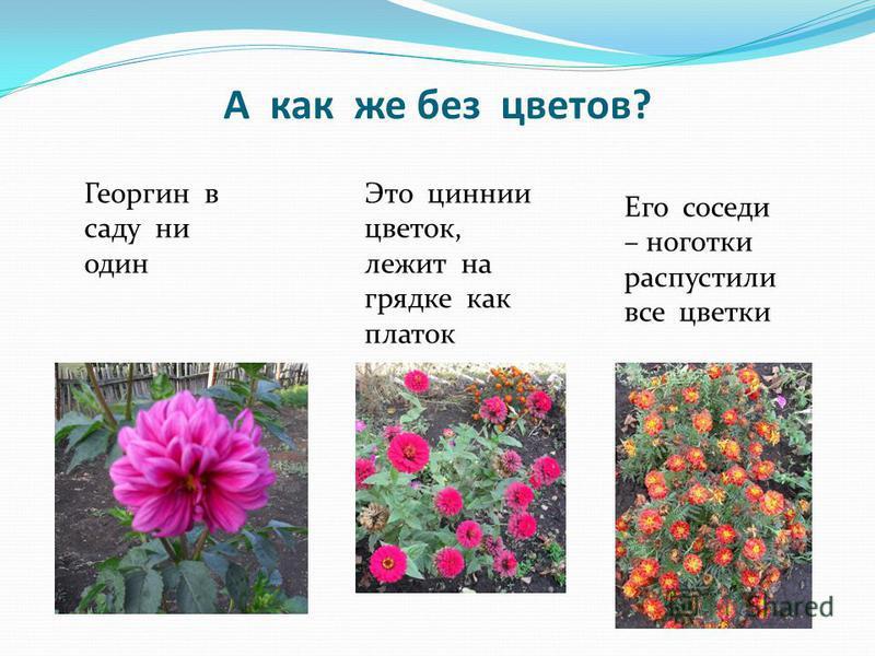 А как же без цветов? Георгин в саду ни один Его соседи – ноготки распустили все цветки Это циннии цветок, лежит на грядке как платок