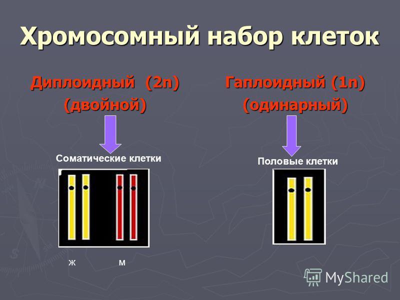 Хромосомный набор клеток Диплоидный (2n) (двойной) Гаплоидный (1n) (одинарный) жм Соматические клетки Половые клетки