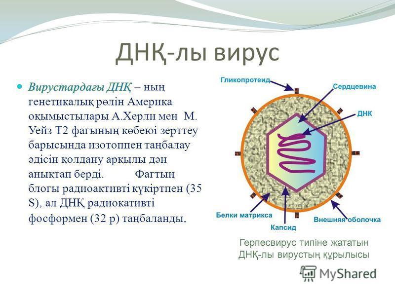 ДНҚ-лы вирус Герпесвирус типіне жататын ДНҚ-лы вирустың құрылысы