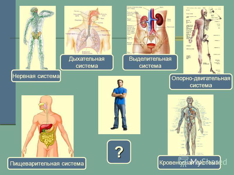 ? Нервная система Дыхательная система Выделительная система Опорно-двигательная система Кровеносная система Пищеварительная система