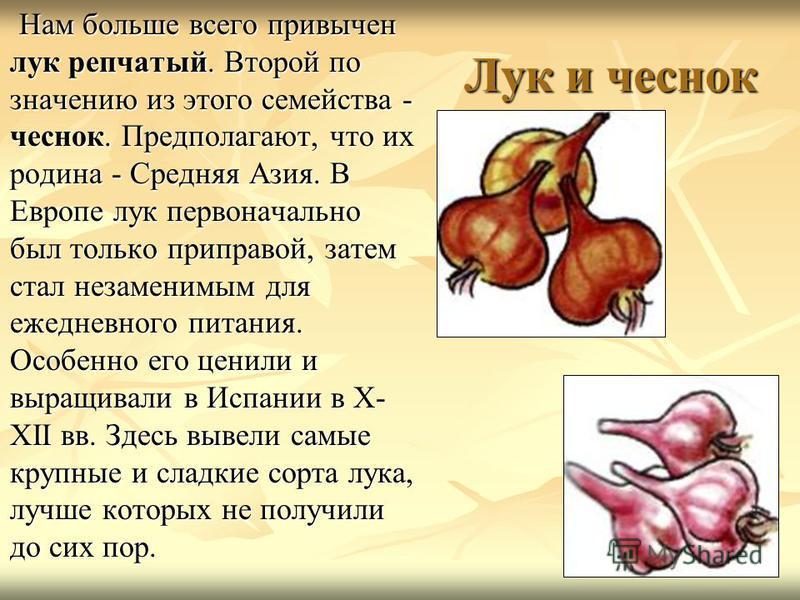 Лук и чеснок Нам больше всего привычен лук репчатый. Второй по значению из этого семейства - чеснок. Предполагают, что их родина - Средняя Азия. В Европе лук первоначально был только приправой, затем стал незаменимым для ежедневного питания. Особенно