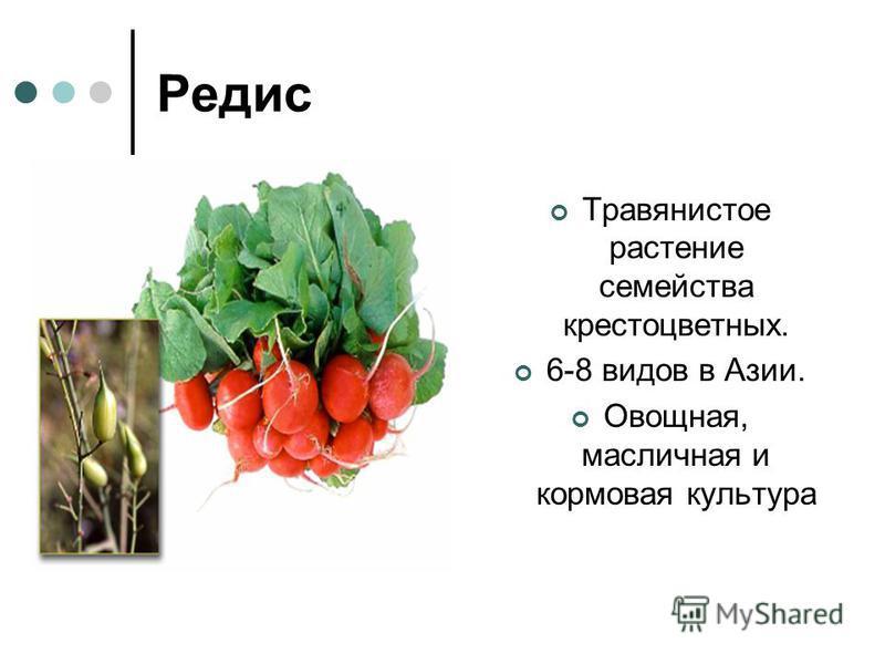 Редис Травянистое растение семейства крестоцветных. 6-8 видов в Азии. Овощная, масличная и кормовая культура