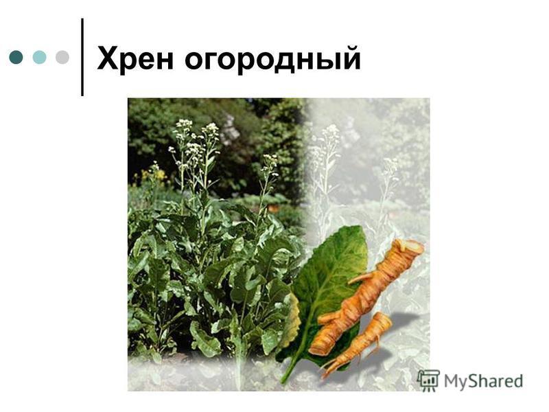 Хрен огородный