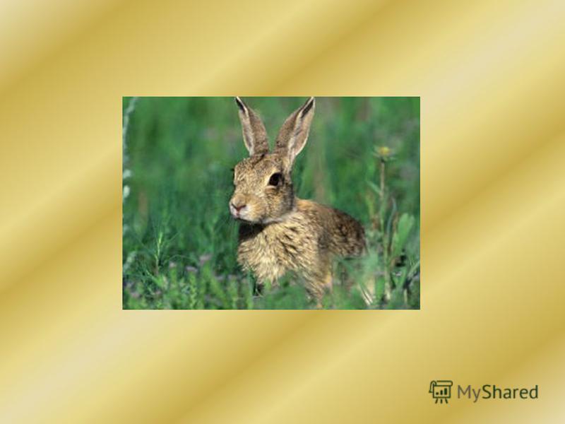 Что за зверь лесной, Встал, как столбик, Под сосной И стоит среди травы- Уши больше головы!