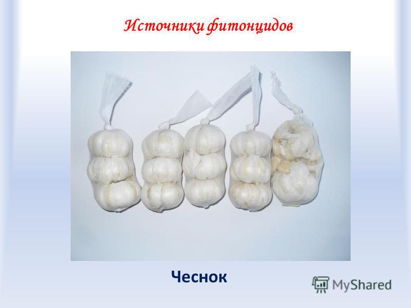 Источники фитонцидов Чеснок