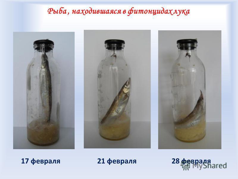 Рыба, находившаяся в фитонцидах лука 21 февраля 28 февраля 17 февраля