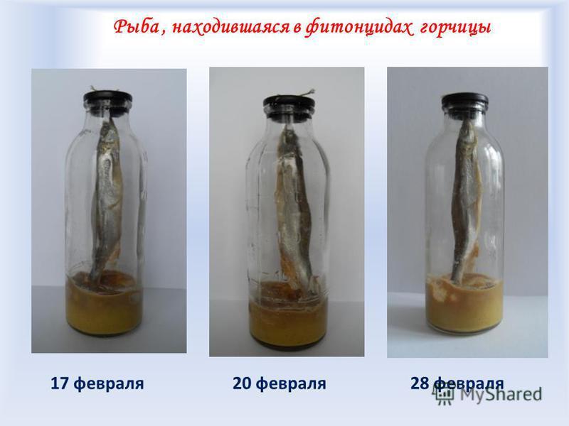 Рыба, находившаяся в фитонцидах горчицы 20 февраля 28 февраля 17 февраля