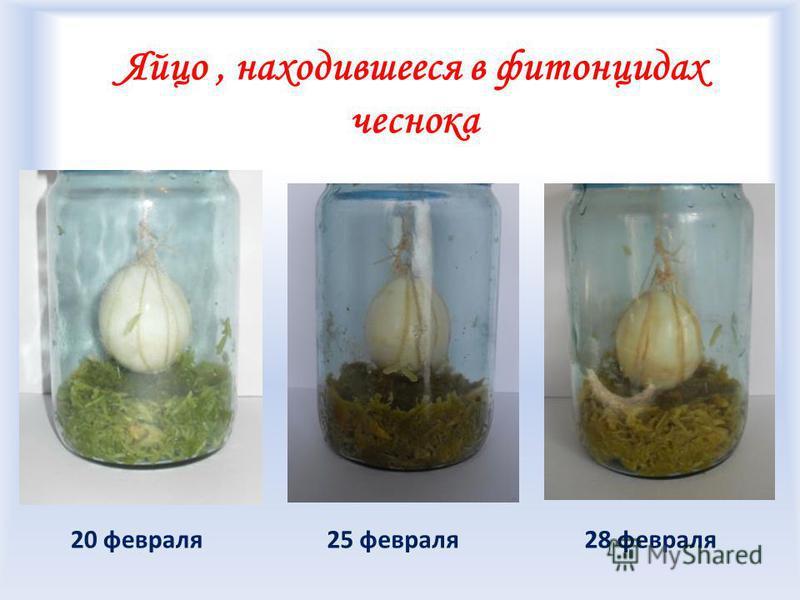 Яйцо, находившееся в фитонцидах чеснока 25 февраля 28 февраля 20 февраля