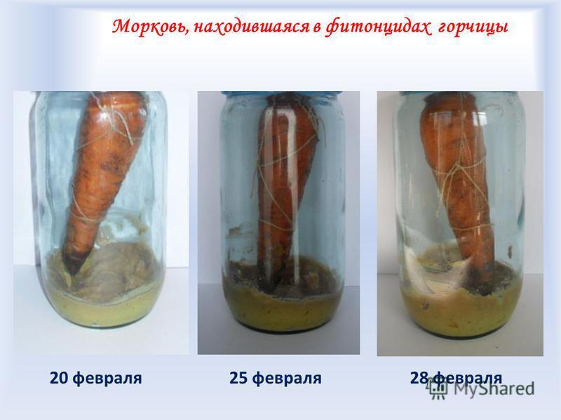 Морковь, находившаяся в фитонцидах горчицы 25 февраля 28 февраля 20 февраля