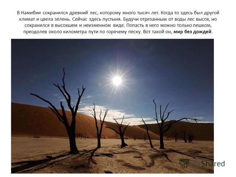В Намибии сохранился древний лес, которому много тысяч лет. Когда то здесь был другой климат и цвела зелень. Сейчас здесь пустыня. Будучи отрезанным от воды лес высох, но сохранился в высохшем и неизменном виде. Попасть в него можно только пешком, пр