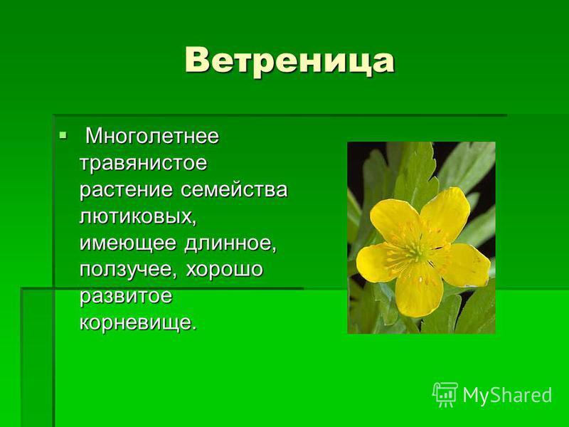 Ветреница Многолетнее травянистое растение семейства лютиковых, имеющее длинное, ползучее, хорошо развитое корневище. Многолетнее травянистое растение семейства лютиковых, имеющее длинное, ползучее, хорошо развитое корневище.