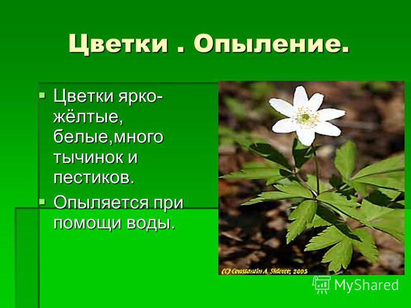 Цветки. Опыление. Цветки ярко- жёлтые, белые,много тычинок и пестиков. Цветки ярко- жёлтые, белые,много тычинок и пестиков. Опыляется при помощи воды. Опыляется при помощи воды.