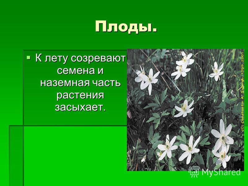 Плоды. К лету созревают семена и наземная часть растения засыхает. К лету созревают семена и наземная часть растения засыхает.