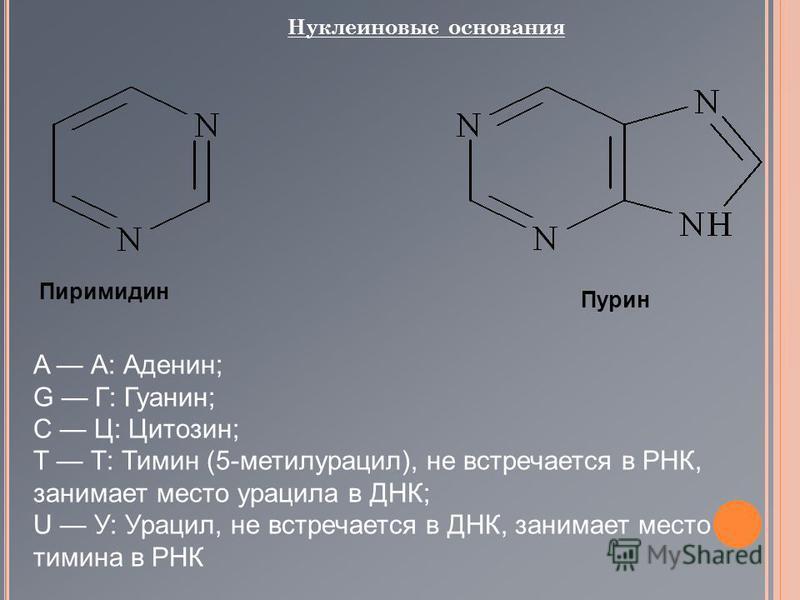Нуклеиновые основания Пиримидин Пурин A А: Аденин; G Г: Гуанин; C Ц: Цитозин; T Т: Тимин (5-метилурацил), не встречается в РНК, занимает место урацила в ДНК; U У: Урацил, не встречается в ДНК, занимает место тимина в РНК