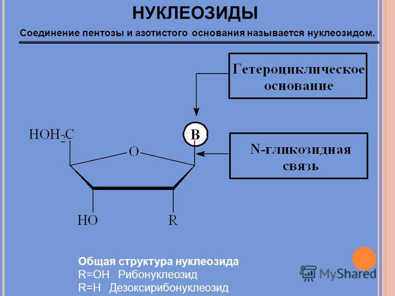 НУКЛЕОЗИДЫ Общая структура нуклеозида R=OH Рибонуклеозид R=H Дезоксирибонуклеозид Соединение пентозы и азотистого основания называется нуклеозидом.