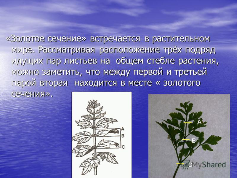 «Золотое сечение» встречается в растительном мире. Рассматривая расположение трёх подряд идущих пар листьев на общем стебле растения, можно заметить, что между первой и третьей парой вторая находится в месте « золотого сечения». «Золотое сечение» вст
