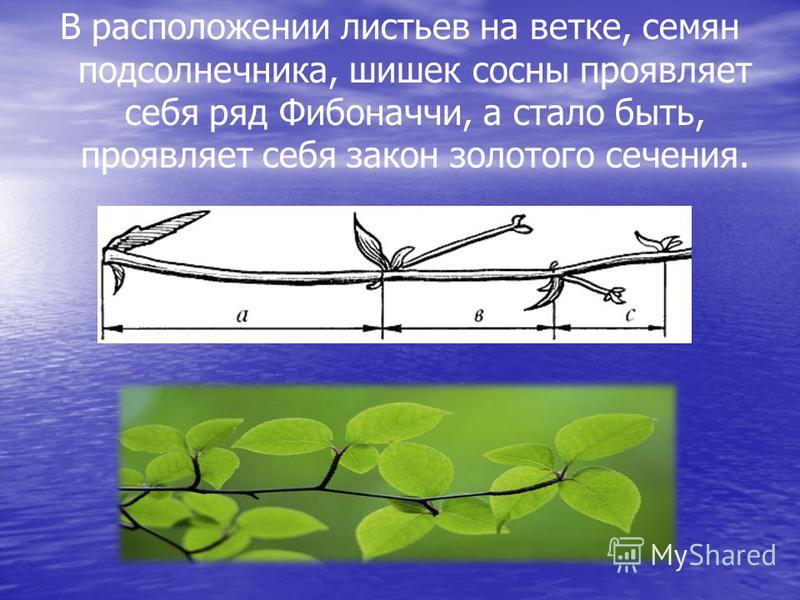 В расположении листьев на ветке, семян подсолнечника, шишек сосны проявляет себя ряд Фибоначчи, а стало быть, проявляет себя закон золотого сечения.