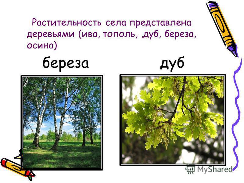 Растительность села представлена деревьями (ива, тополь,,дуб, береза, осина) береза дуб