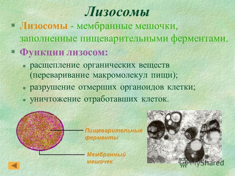 Лизосомы §Лизосомы - мембранные мешочки, заполненные пищеварительными ферментами. §Функции лизосом: l расщепление органических веществ (переваривание макромолекул пищи); l разрушение отмерших органоидов клетки; l уничтожение отработавших клеток. Пище