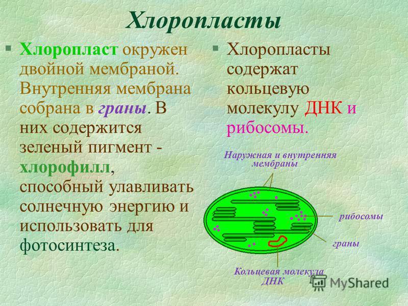 Хлоропласты §Хлоропласт окружен двойной мембраной. Внутренняя мембрана собрана в граны. В них содержится зеленый пигмент - хлорофилл, способный улавливать солнечную энергию и использовать для фотосинтеза. §Хлоропласты содержат кольцевую молекулу ДНК