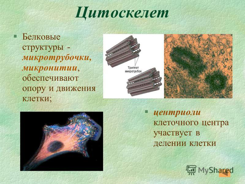 Цитоскелет §Белковые структуры - микротрубочки, микронитии, обеспечивают опору и движения клетки; §центриоли клеточного центра участвует в делении клетки