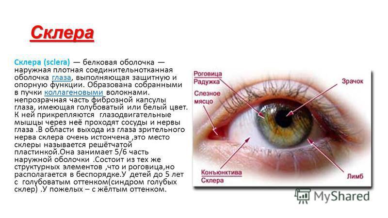 Склера Склера (sclera) белковая оболочка наружная плотная соединительнотканная оболочка глаза, выполняющая защитную и опорную функции. Образована собранными в пучки коллагеновыми волокнами. непрозрачная часть фиброзной капсулы глаза, имеющая голубова