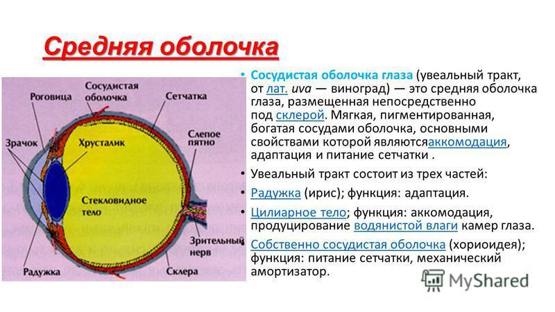 Средняя оболочка Сосудистая оболочка глаза (увеальный тракт, от лат. uva виноград) это средняя оболочка глаза, размещенная непосредственно под склерой. Мягкая, пигментированная, богатая сосудами оболочка, основными свойствами которой являютсяаккомода