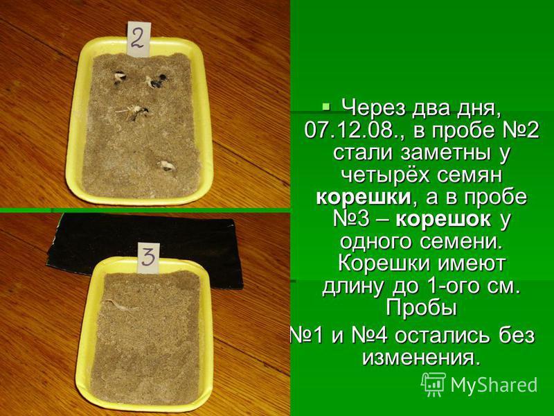 Через два дня, 07.12.08., в пробе 2 стали заметны у четырёх семян корешки, а в пробе 3 – корешок у одного семени. Корешки имеют длину до 1-ого см. Пробы Через два дня, 07.12.08., в пробе 2 стали заметны у четырёх семян корешки, а в пробе 3 – корешок