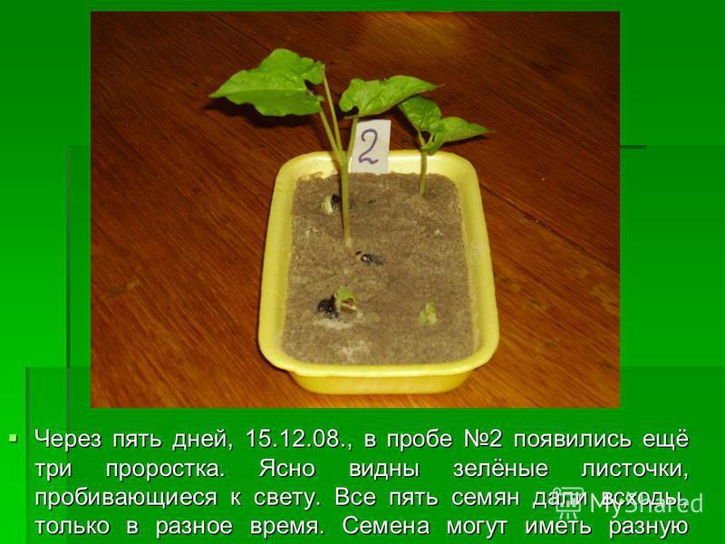 Через пять дней, 15.12.08., в пробе 2 появились ещё три проростка. Ясно видны зелёные листочки, пробивающиеся к свету. Все пять семян дали всходы, только в разное время. Семена могут иметь разную всхожесть. Через пять дней, 15.12.08., в пробе 2 появи