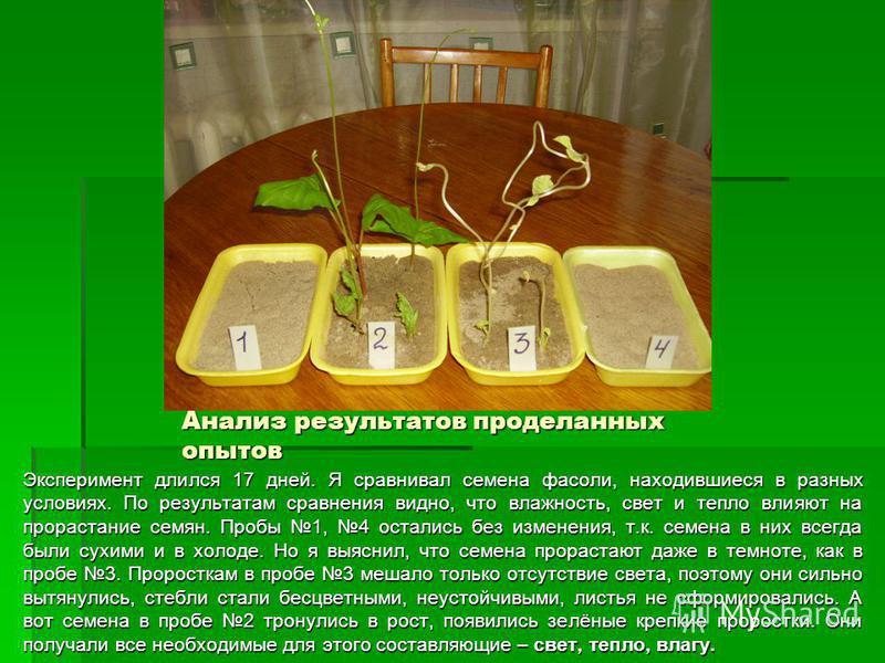 Анализ результатов проделанных опытов Эксперимент длился 17 дней. Я сравнивал семена фасоли, находившиеся в разных условиях. По результатам сравнения видно, что влажность, свет и тепло влияют на прорастание семян. Пробы 1, 4 остались без изменения, т