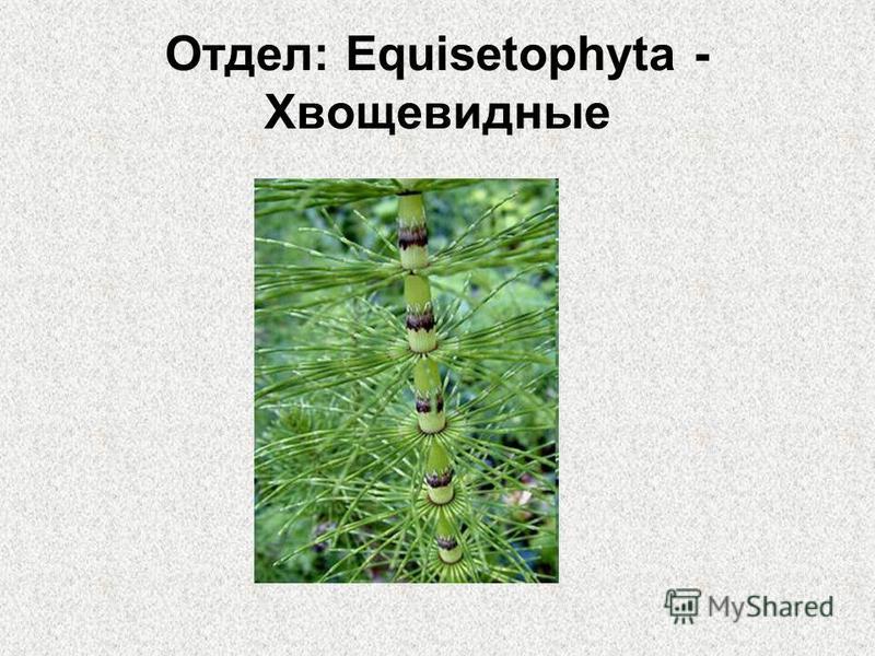 Отдел: Equisetophyta - Хвощевидные